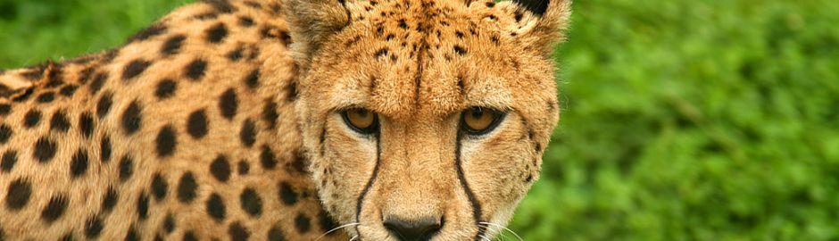 Kapama Cheetah banner