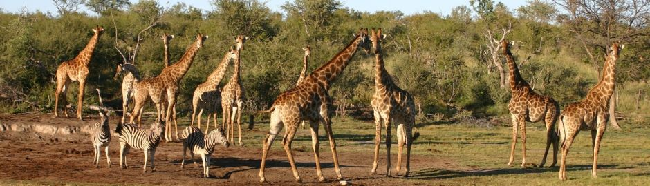 Madikwe Game Reserve Girraffe