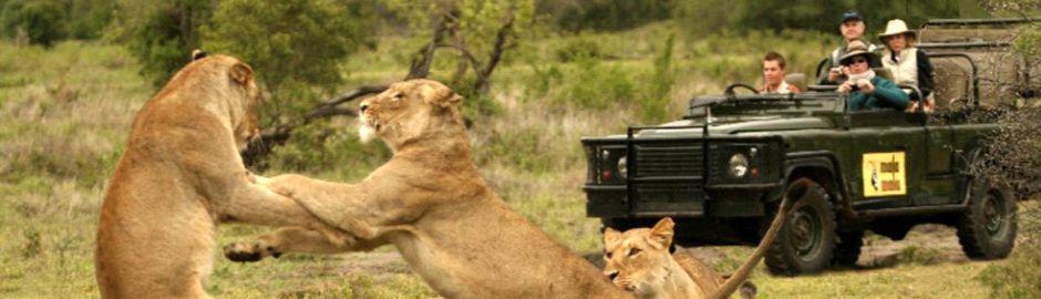MalaMala Gave Drive Lions