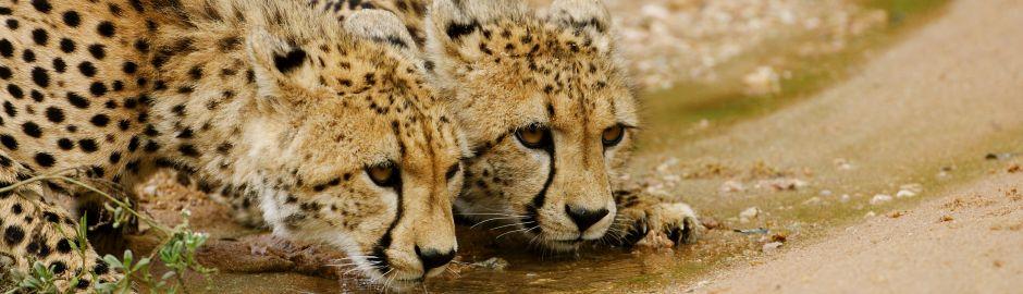 Thornybush Cheetah