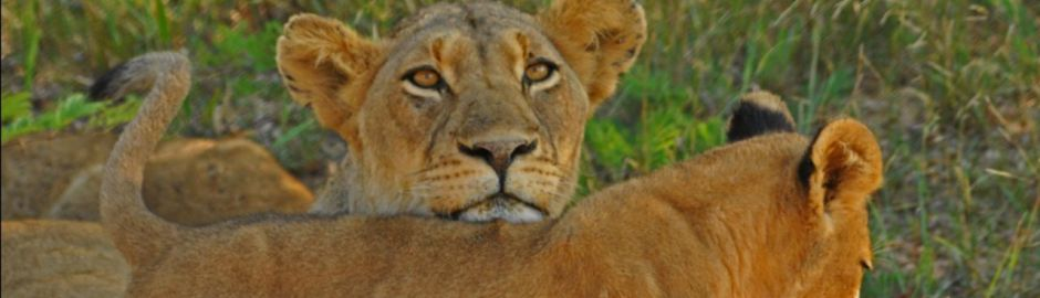 Hoyo Hoyo Safari Lodge Lioness and Cub
