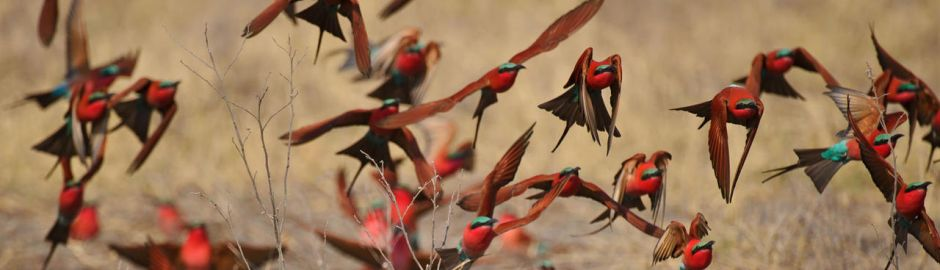 Kings Pool Camp Southern Carmine Bee-Eaters b