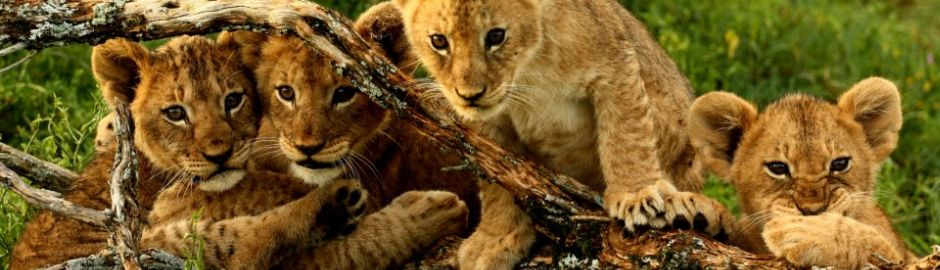 Kwandwe Private Game Reserve Lion Cubs b