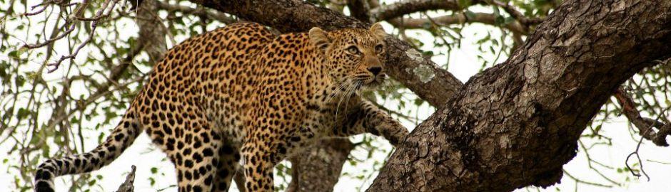 Leopard Hills Leopard b