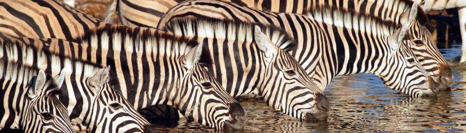 Little Ongava Zebra Banner