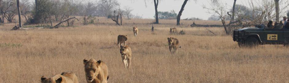 Mala Mala Sable Camp Game Drive Lions b