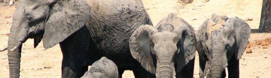 Elephants Banner