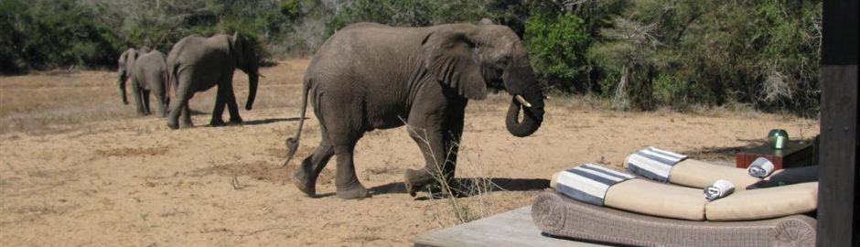 Phinda Vlei elephants b