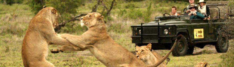 Rattray's Mala Mala Lions act