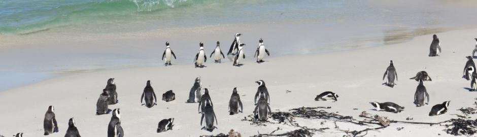 Victoria and Alfred hotel boulders beach penguins b