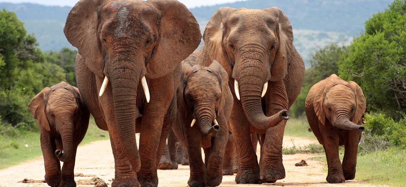 Elephants – Africa