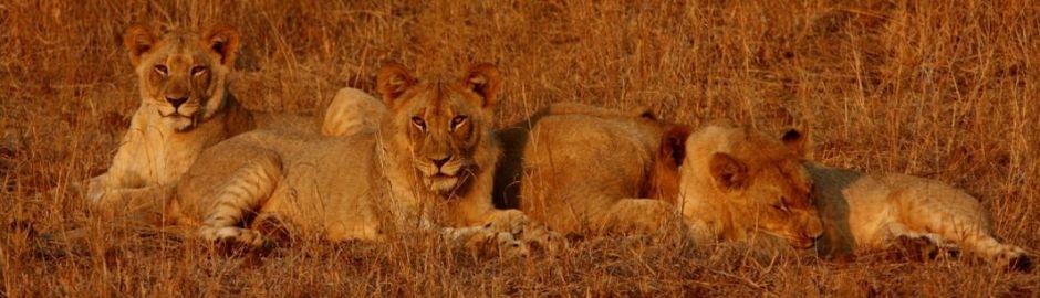 Lion cubs b