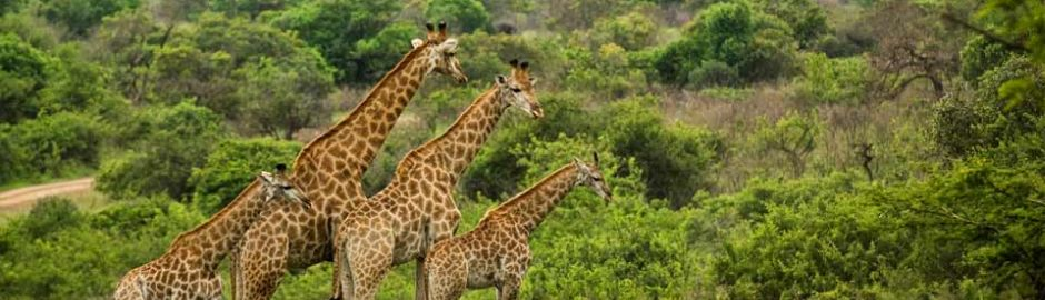Phinda Private Game Reserve giraffe b