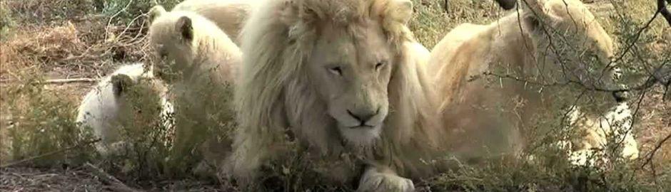 Sanbona Wildlife Reserve White Lions b