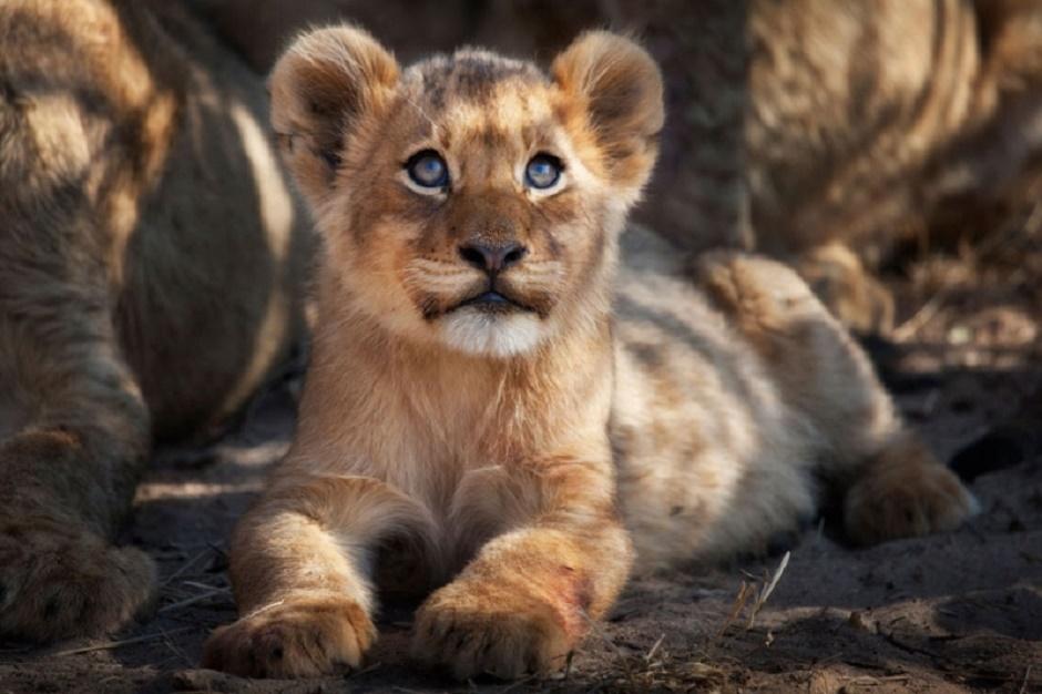 Londolozi lion cub