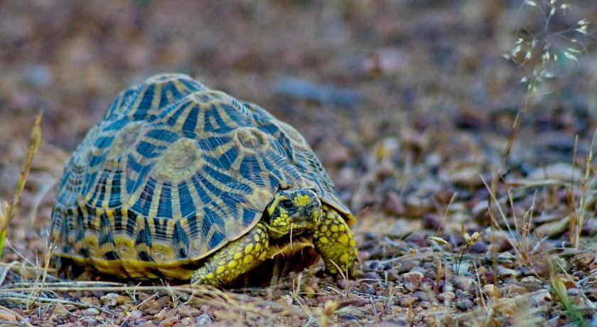 Bartholomeus Klip Farmhouse tortoise